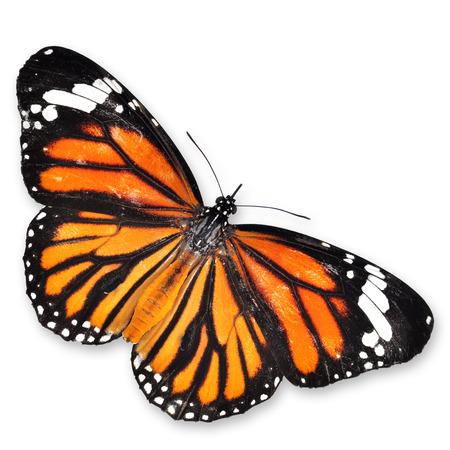 butterflies flying: Mariposa monarca aislado en fondo blanco