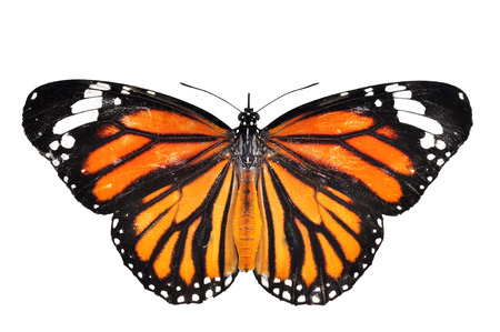 american butterflies: monarch Butterfly isolated on white background