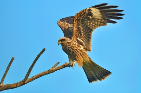 black kite: Black kite resting on a branch