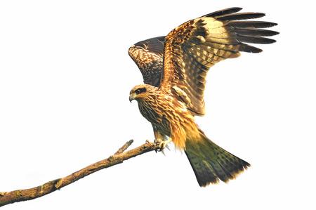 milvus: Black kite resting on a branch on white background