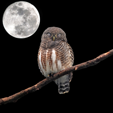 Asian Barred Owlet (Glaucidium cuculoides) sleeping on perched and the moon