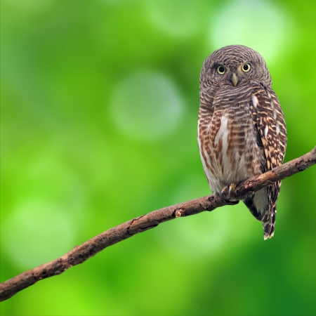 spousal: Asian Barred Owlet (Glaucidium cuculoides) is a species of true owl.  Stock Photo