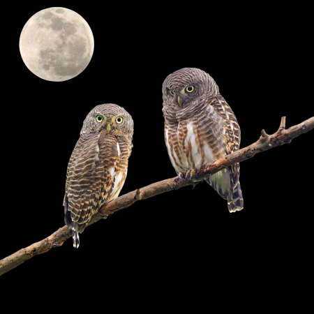 Asian Barred Owlet (Glaucidium cuculoides) and the moon