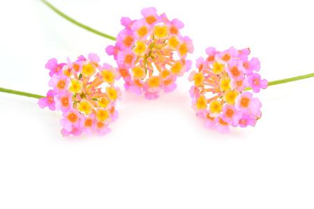 lantana camara: Lantana Flowers camara, Fresh Flowers isolated