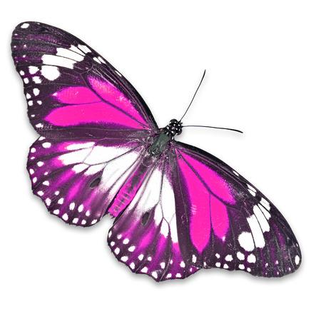 papillon rose: Papillon rose isol� sur blanc Banque d'images