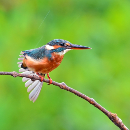 A female Common Kingfisher is perching on a branch.(Alcedo atthis)  photo