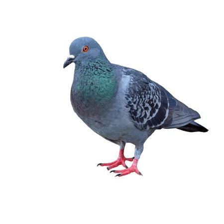 gray dove on a white  Archivio Fotografico