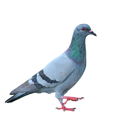 gray dove on a white  photo
