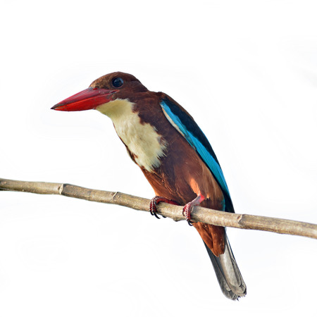 White-throated Kingfisher siiting on perched on white background photo