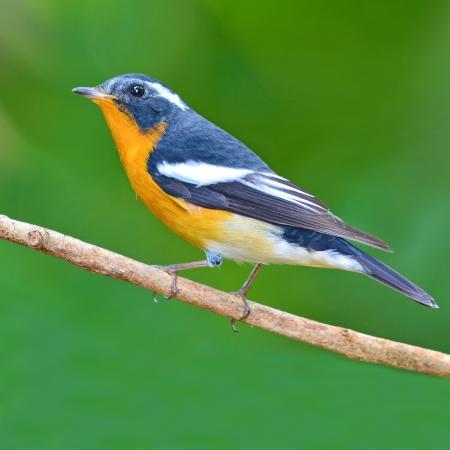 A beautiful bird male Mugimaki Flycatcher.(Ficedul a mugimaki)  photo