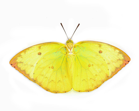 emigrant: Butterfly species Catopsilia pomona Lemon Emigrant isolated on white background