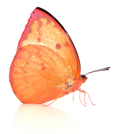 pieridae: Beautiful Orange butterfly isolated on white background