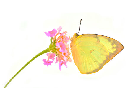 emigrant: Beautiful butterfly (Lemon Emigrant, Catopsilia pomona) on pink flower isolated on white background