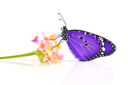Purple butterfly on a pink flower on white background