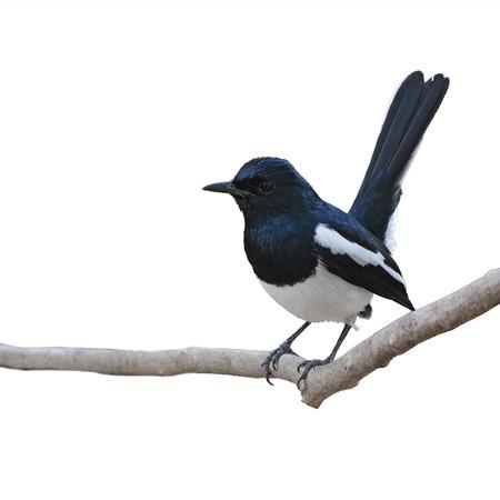Black and White Bird Oriental Magpie Robin sich auf, mit weißem Hintergrund