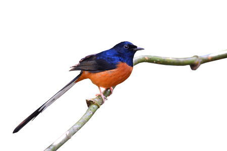 White-Rumped Shama on branch, white background  photo