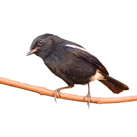 pied: The Pied Bushchat on white background