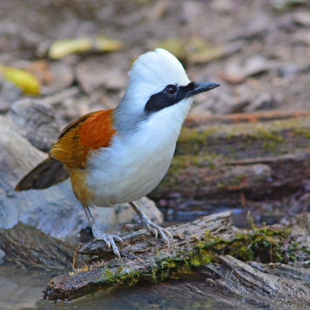 laughingthrush: A white-crested laughingthrush bird sitting on a log Stock Photo