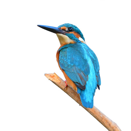 alcedinidae: A beautiful Kingfisher bird, male Common Kingfisher (Alcedo athis), sitting on a branch on white background