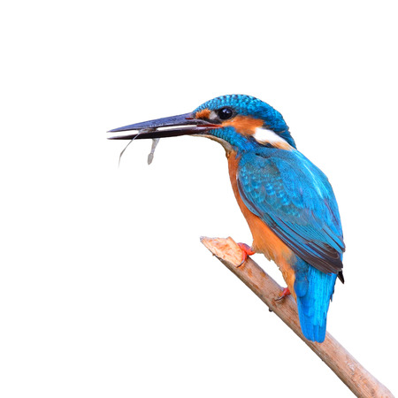 common kingfisher: A beautiful Kingfisher bird, male Common Kingfisher (Alcedo athis), sitting on a branch and eating shrimp on white background Stock Photo