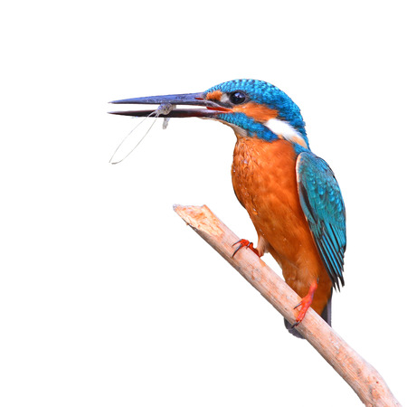 A beautiful Kingfisher bird, male Common Kingfisher (Alcedo athis), sitting on a branch and eating shrimp on white background Stock Photo