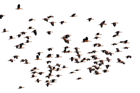 Flying Lesser whistling duck on white background photo