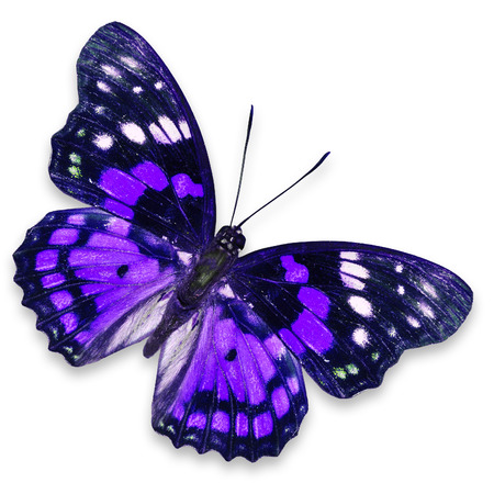 purple butterfly: Purple butterfly isolated on white background