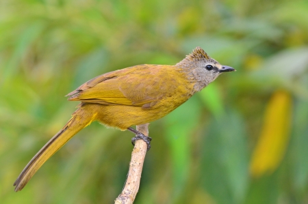 flavescens: Beautiful brown bird standing on the branch (Flavescent Bulbul, Pycnonotus flavescens)