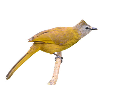 flavescens: Beautiful brown bird standing on the branch (Flavescent Bulbul, Pycnonotus flavescens), white background Stock Photo