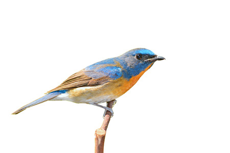 beautiful blue bird, Chinese Blue Flycatcher bird (Cyornis glaucicomans) perching on a branch, white background photo