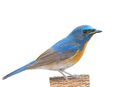 beautiful blue bird, Chinese Blue Flycatcher bird (Cyornis glaucicomans) sitting on the log, white background photo