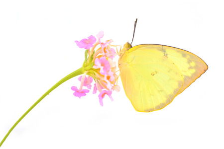 emigrant: beautiful yellow butterfly (Catopsilia pomona, Lemon Emigrant) on pink flower, white background Stock Photo