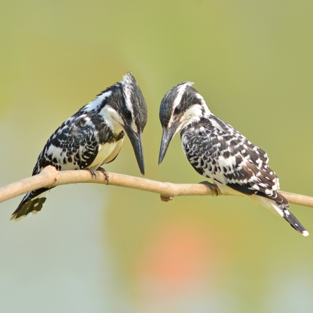 Couple of kingfisher bird (Pied kingfisher, Ceryle rudis) perching on a branch photo