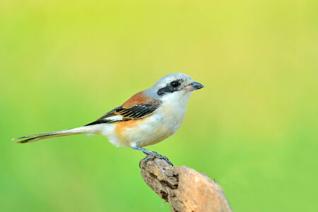 vittatus:  Bay-backed Shrike Bird (Lanius vittatus), New record bird in Thailand