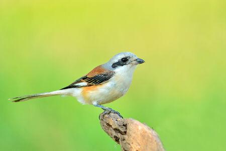 vittatus:  Bay-backed Shrike Bird (Lanius vittatus), New record bird in Thailand