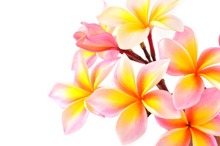 Pink frangipani (Plumeria rubra) flower, white backgrond photo
