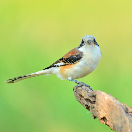 vittatus: Bay-backed Shrike Bird (Lanius vittatus), New record bird in Thailand Stock Photo