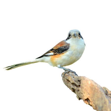 vittatus: Bay-backed Shrike Bird (Lanius vittatus), New record bird in Thailand, white background