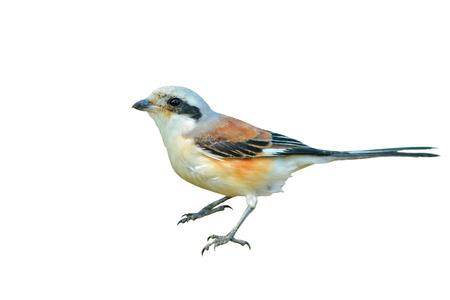 vittatus: Bay-backed Shrike Bird (Lanius vittatus), New record bird in Thailand, white background