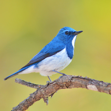 ultramarine blue: Colorful blue and white bird, male Ultramarine Flycatcher (Ficedula superciliaris) , perching on a branch, side profile