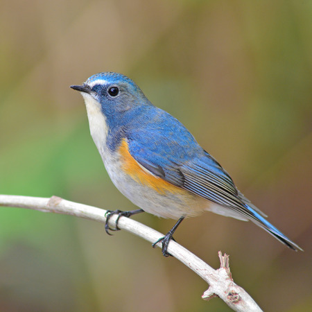 Colorful blue bird, male Red-flanked Bluetail (Tarsiger cyanurus), standing on a branch, side profile  photo
