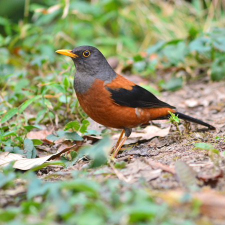 turdus: Colorful brown and black bird, Chestnut Thrush (Turdus rubrocanus), on a field Stock Photo
