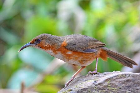 scimitar: Beautiful long bills bird, Rusty-cheeked scimitar babbler (Pomatorhinus erythrogenys), standing on the rock