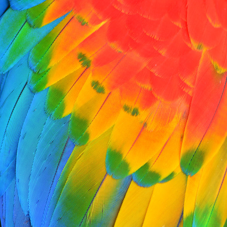 Multicolored feathers, Scarlet Macaw feathers  texture photo
