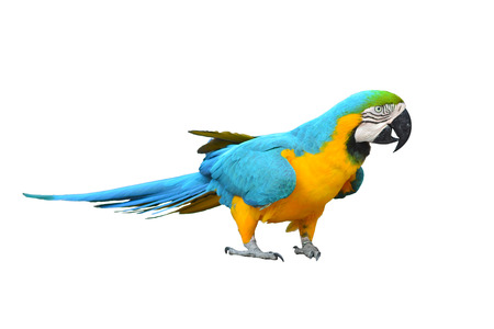 blue parrot: Blue-and-yellow Macaw isolated on white