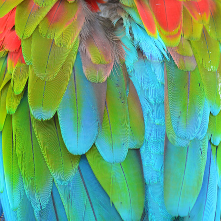 Multicolored feathers, Scarlet Macaw feathers background texture photo