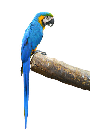 A beautiful bird Blue and Gold Macaw isolate on white background   photo