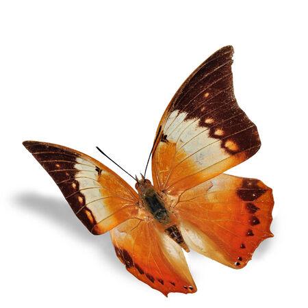 rajah: Mariposa naranja (Tawny Rajah, Charaxes bermardus), aislado en fondo blanco