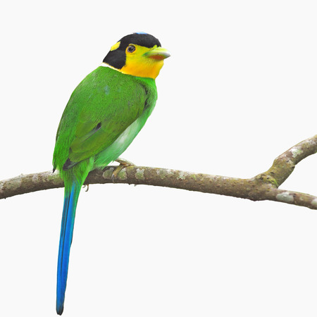 Beautifu green bird (long-tailed broadbill, Psarisomus dalhousiae) perching on a branch, white background photo