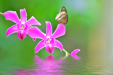 A beautiful pink butterfly on orchids flowers in water stock photo 27097110 brown butterfly on a pink orchid flower on green background mightylinksfo